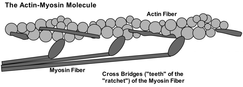 actin-myosin filaments - Medical Massage Therapy School for the 21st Century